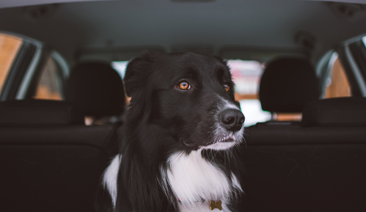 black and white dog sitting in the back seat of a car