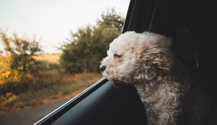 small white dog looking out car window