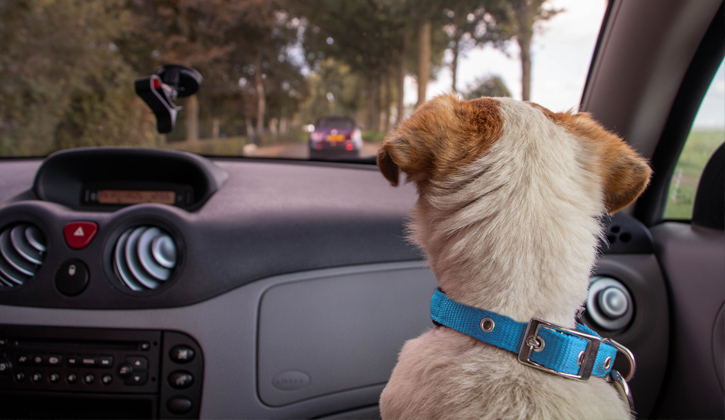 Dog with blue collar looking out of a car window