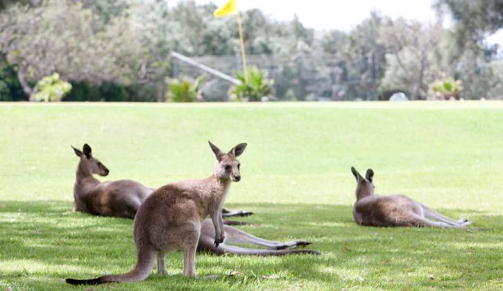 Kangaroos in Coffs Harbour